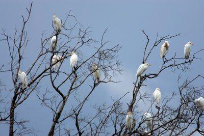 Egrets nevados en los Everglades de Florida.