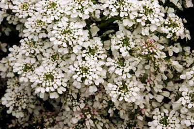 Candytuft Anual