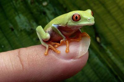 Fotografía - ¿Son las ranas al borde de la extinción?