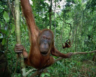 Fotografía - ¿Son los orangutanes introvertidos?