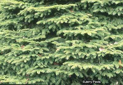 Pájaro's Nest Spruce