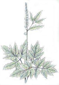 Fotografía - Negro cohosh: remedios herbales