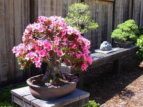 bonsai de floración