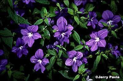 Browallia, Sapphire Flor