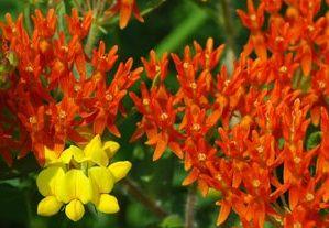 Hierba de la mariposa, Milkweed