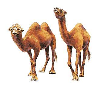 Fotografía - Camello
