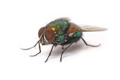mosca doméstica en reposo
