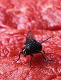 mosca sentada en carne