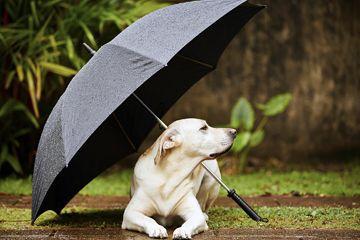 Fotografía - ¿Pueden los perros detectar tormentas?