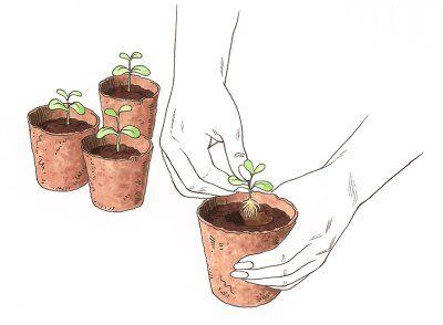 El cuidado de las plantas de semillero vegetales