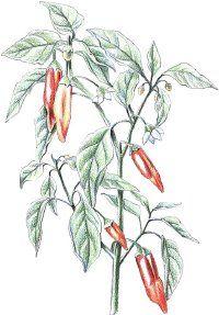 Fotografía - Pimienta de Cayena: remedios herbales