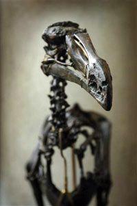 Fotografía - ¿Podrían los científicos resucitar el pájaro dodo?