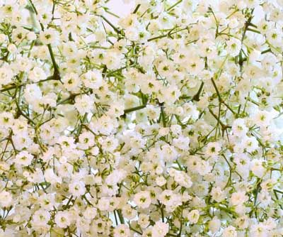 Creeping Gypsophile, Creeping bebé's Breath