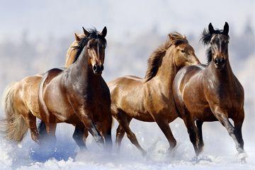 Fotografía - Hizo un lago ruso flash congelar una manada de caballos?