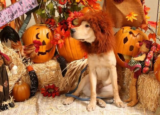 Lion King traje del perro de bricolaje, ver más a http://artesaniasdebricolaje.ru/diy-dog-costume-ideas-halloween-fun-for-your-pooch