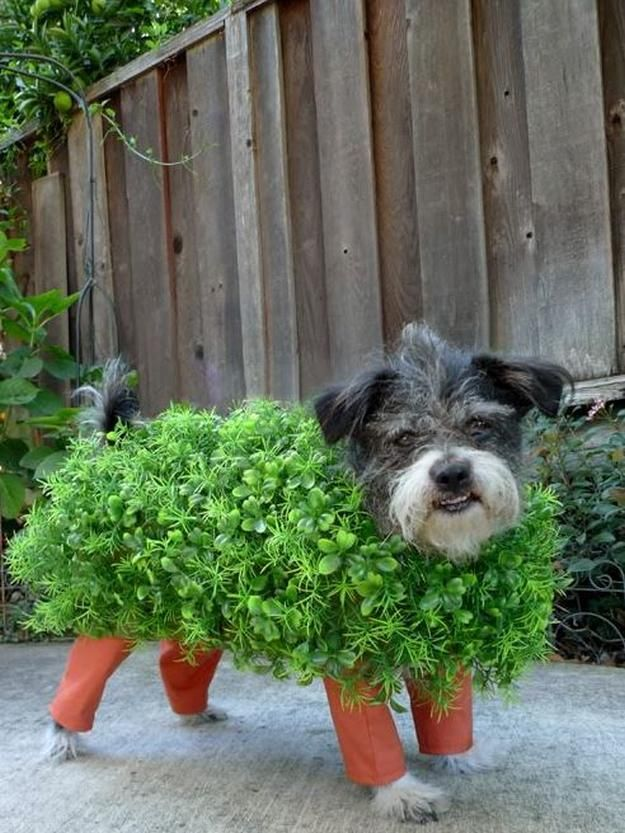 Chia mascota traje del perro de bricolaje, ver más a http://artesaniasdebricolaje.ru/diy-dog-costume-ideas-halloween-fun-for-your-pooch