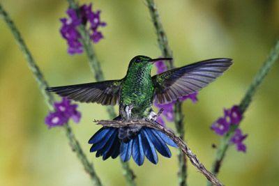Fotografía - ¿Los colibríes tienen sexo en el aire?