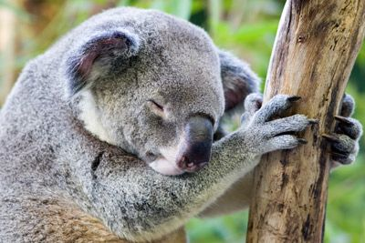 Cuando koalas aren't eating eucalyptus leaves, they're probably napping.