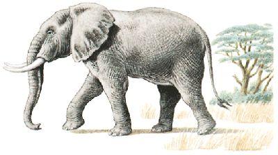 Fotografía - Elefante