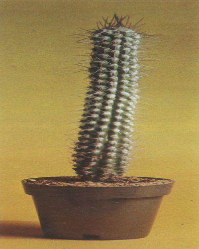 El cactus saint-pieana Eulychnia, una planta columnar alto de Chile, cuenta con blanco, mechones lanudos y fruta carnosa comestible.