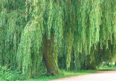 Árboles de crecimiento rápido