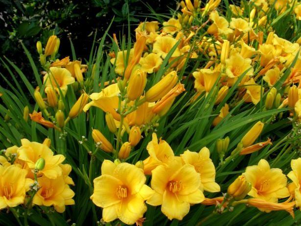 Fotografía - Las plantas perennes que aman el sol