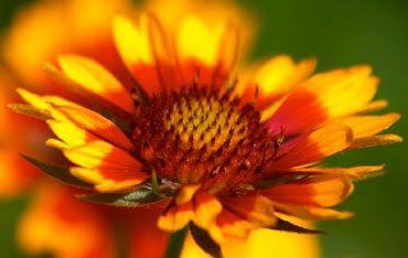 Gaillardia, flor combinada
