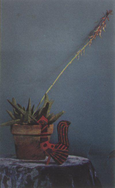 El cactus Gasteria tiene hojas gruesas, suculentas, forma de lengua que se disponen en las pilas o espirales.