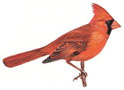 El pájaro del estado de Illinois