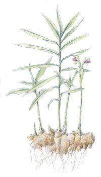 Jengibre: Remedios herbarios
