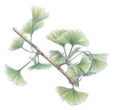 Fotografía - Ginkgo: remedios herbales