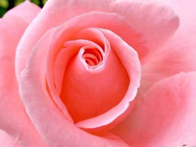 Grandiflora Rosas
