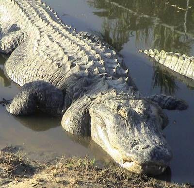 Fotografía - ¿Cómo funcionan los cocodrilos