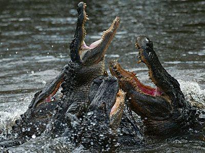 cocodrilo frenesí de alimentación