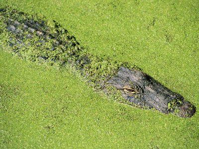camoflauge cocodrilo