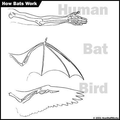 Fotografía - Cómo murciélagos trabajo