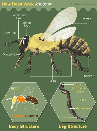 Fotografía - ¿Cómo trabajan las abejas