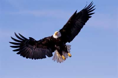 Fotografía - ¿Cómo llegó el águila calva conseguir cotizar como una especie en peligro de extinción?