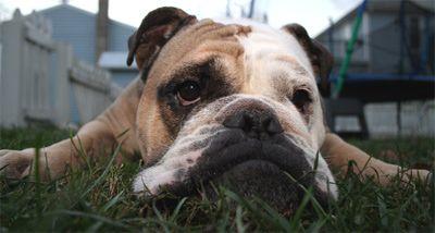 Fotografía - ¿Cómo resolver los problemas de comportamiento del perro