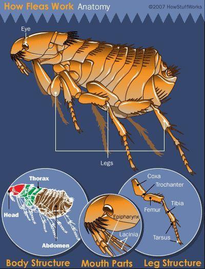 Fotografía - ¿Cómo funcionan las pulgas