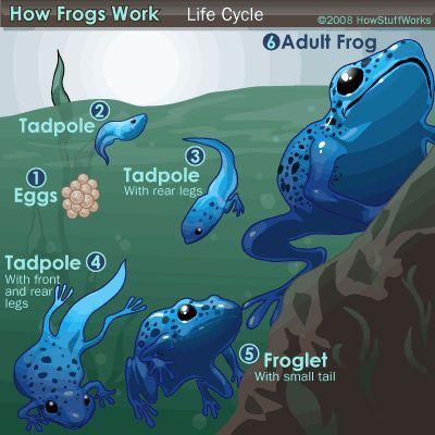 Fotografía - ¿Cómo funcionan las ranas
