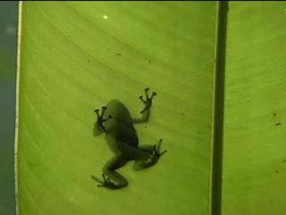 Sra Aventura: ranas dardo mortal