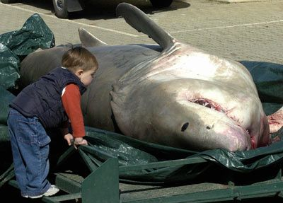 gran tiburón blanco muertos