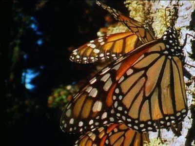 Engañado por la Naturaleza: La migración de la mariposa monarca