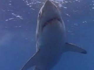 Los tiburones prehistóricos: El Megalodon