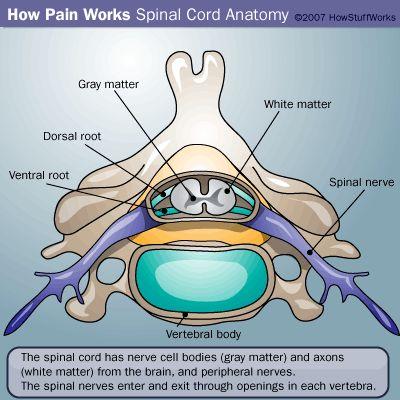 dolor ilustración de la médula espinal