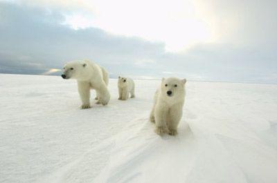 Fotografía - ¿Cómo funcionan los osos polares