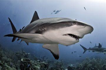 Tiburones de arrecife grises caza de pez león en las costas de la isla de Roatán, cerca de Honduras en el Mar Caribe.