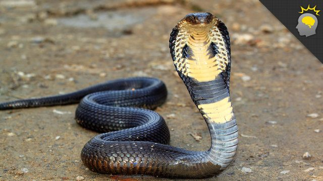 Cosas para Blow Your Mind: King Cobra Mania - Ciencia en la Web