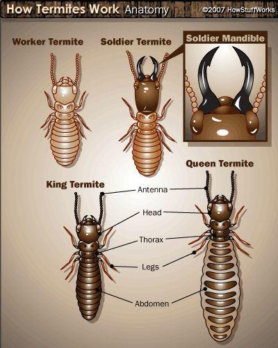 Fotografía - Cómo termitas trabajo